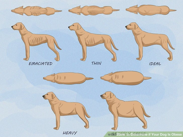 different views of obese dog vrs normal size dog